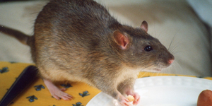Who is responsible for rodent infestations - landlords or occupants?