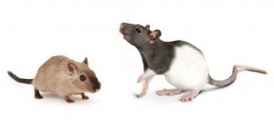 mouse rat size comparison, Prevent Rat/Mouse Infestations